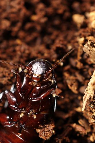 Cockroach ?? - Cryptocercus darwini