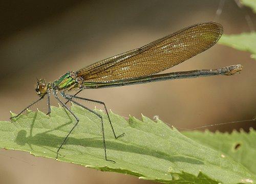 Appalachian Jewelwing - Calopteryx angustipennis - female