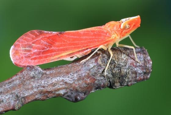 Planthopper - Otiocerus coquebertii