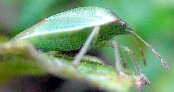 Stinkbug - Thyanta pallidovirens