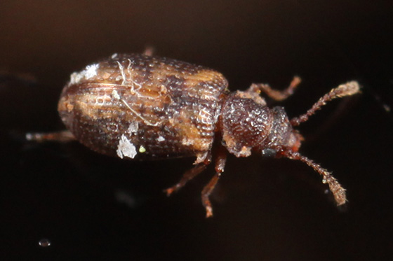 beetle - Derodontus esotericus