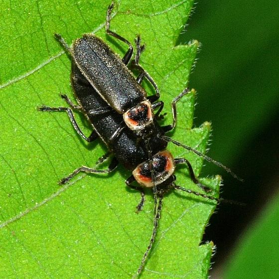 beetles - Atalantycha dentigera - male - female