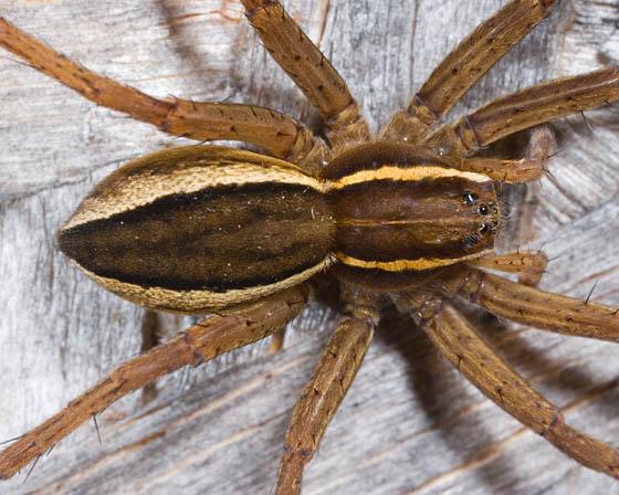 Female Spider? - Dolomedes striatus
