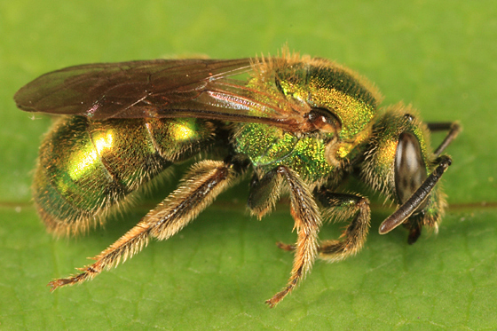 Sweat Bee - Augochlorella aurata - female