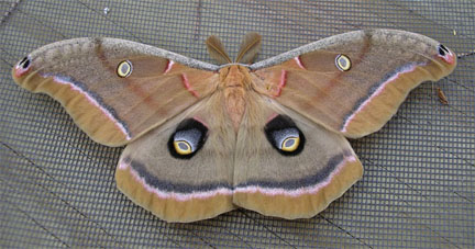 What Is The Largest Moth For Illinois Bugguidenet