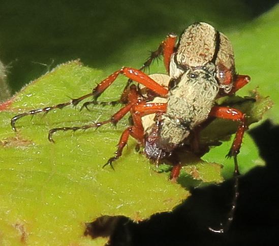 Western Rose Chafer - Macrodactylus uniformis - male - female