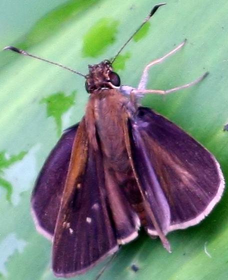 Hesperiidae - Cymaenes tripunctus