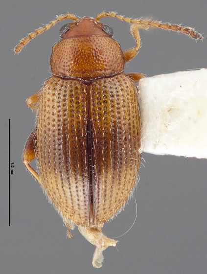 Epitrix hirtipennis - female