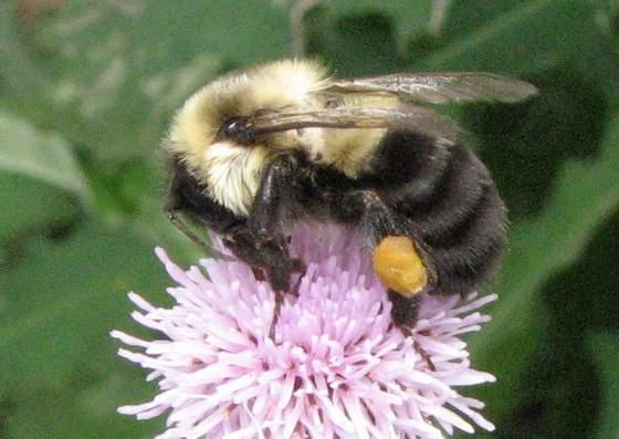 Bumblebee, Apidae - Bombus impatiens - female