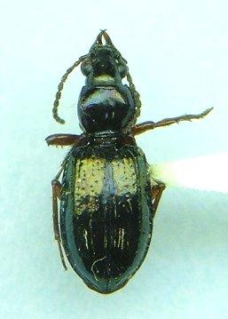 Semiardistomis viridis