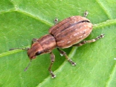 Beetle ID Request - Sitona lepidus