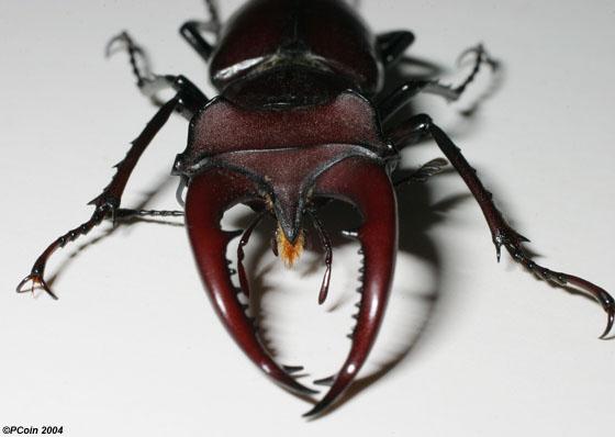 Giant Stag Beetle - Lucanus elaphus - male