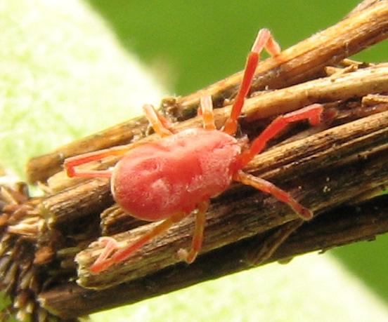 Mite? on bag-worm on milkweed