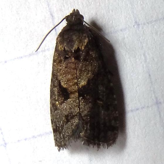 Dotted Ecdytolopha Moth - Hodges#3495 (Gymnandrosoma punctidiscanum) ? - Cryptaspasma bipenicilla