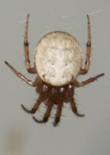 Orb Weaver Spider - Metazygia zilloides