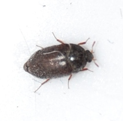I found this bug in my bathroom in Akron, Ohio. I have seen them at all hours of the day in my bathroom and bedroom. - Attagenus