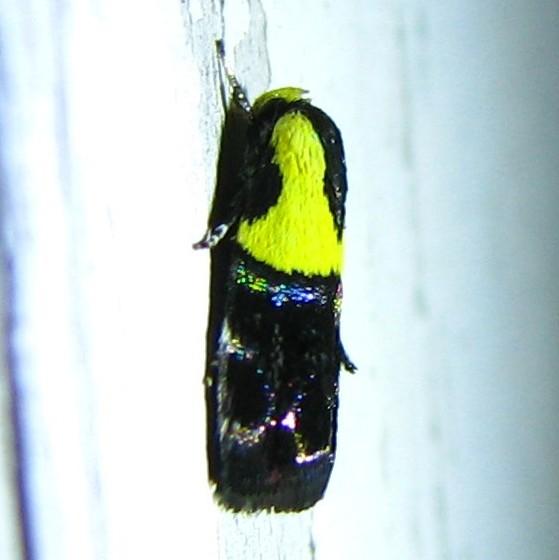 unknown moth - Rectiostoma xanthobasis