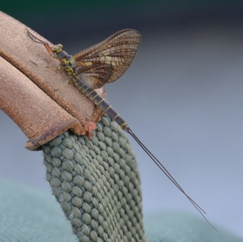 Photo taken when flyfishing - Litobrancha recurvata - male