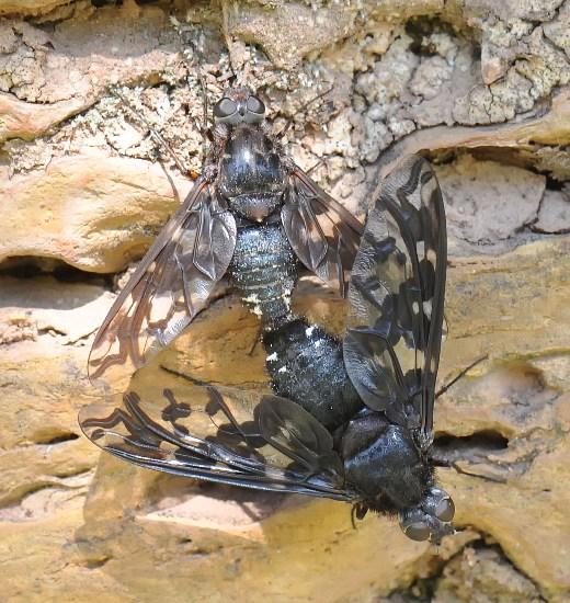 Xenox xylocopae - male - female