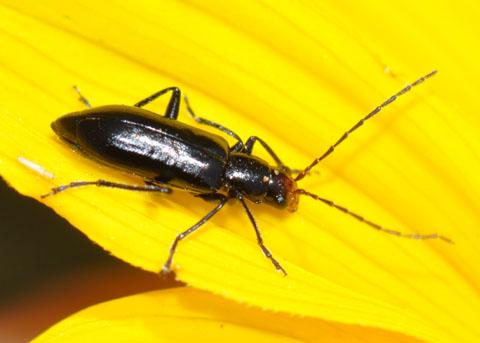 Beetle on Encelia - Triarius nigroflavus