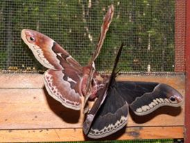 Promethea  - Callosamia promethea - male - female