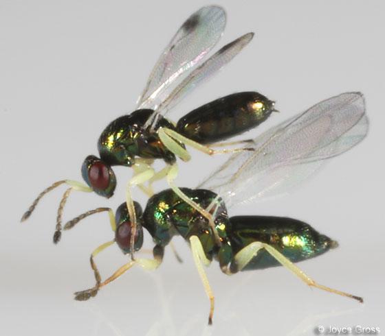 parasitoids - Aprostocetus - male - female