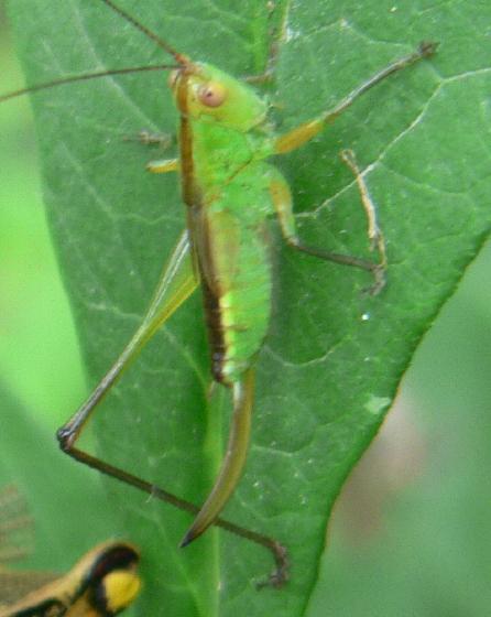Meadow Katydid Nymph - Orchelimum nigripes - female