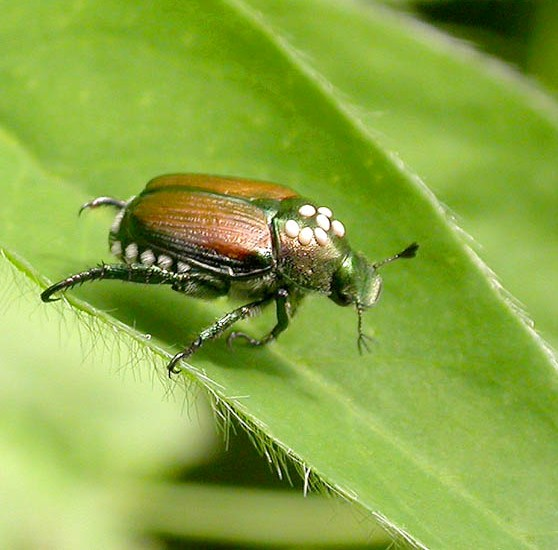 Parasite on Japanese beetle - Istocheta aldrichi