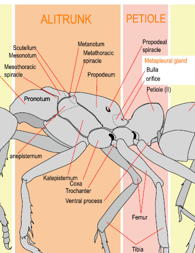 Ant Worker Morphology--alitrunk and petiole