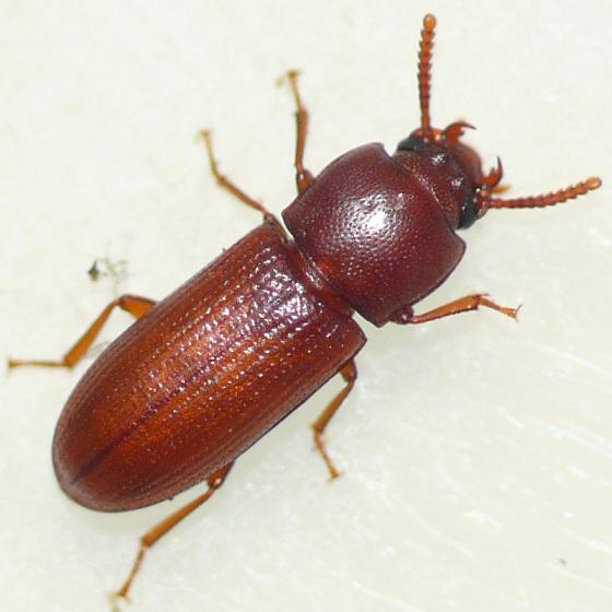Darkling beetle - Gnatocerus guatemalensis - female