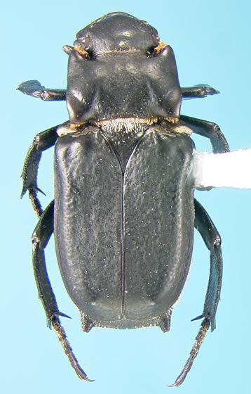 Cremastocheilus - Cremastocheilus wheeleri