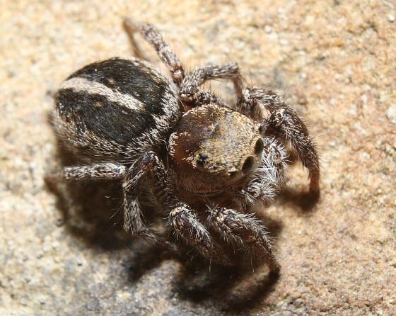 Habronattus orbus - female