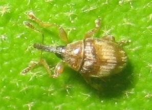 Weevil - Nanophyes brevis