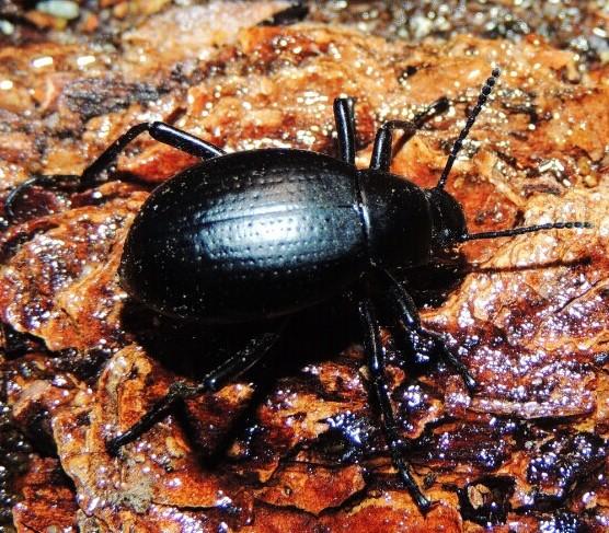 what species - Eleodes goryi