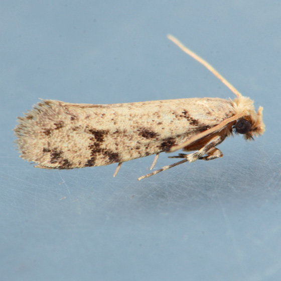Moth for ID - Amydria erecta