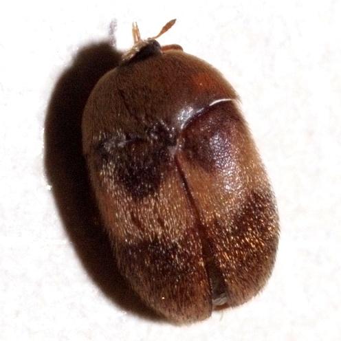 unknown bed bug - Attagenus fasciatus