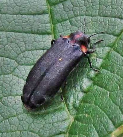 Beetle - Eupristocerus cogitans