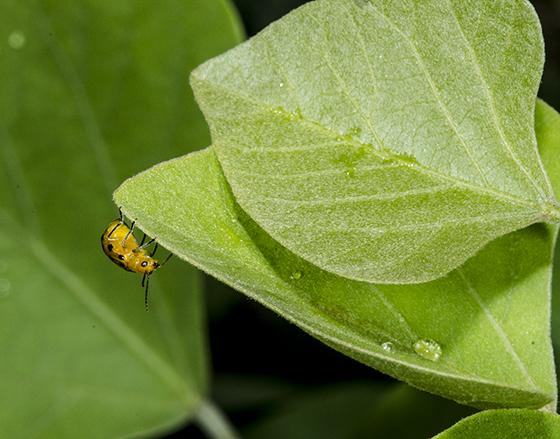 Neobrotica pluristicta - on plant where found