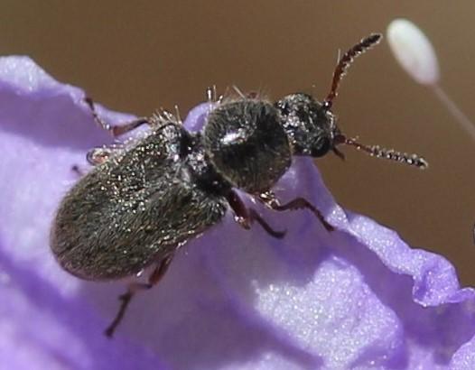 Melyridae - Trichochrous varius