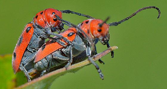 Beetle - Tetraopes tetrophthalmus