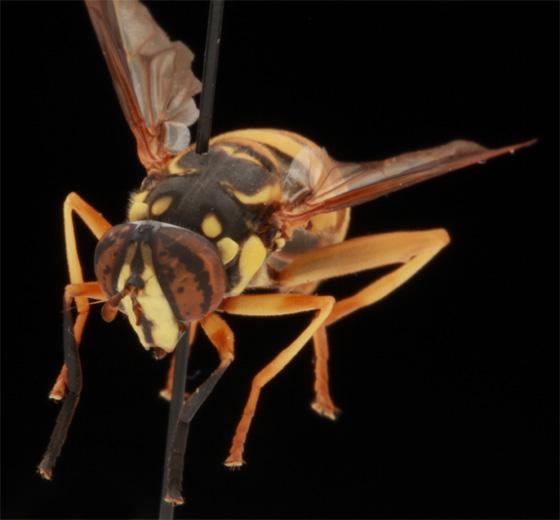Spilomyia longicornis - Spilomyia alcimus - female