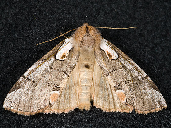 Euthyatira lorata