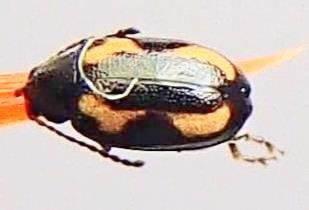 Phyllotreta striolata  - Phyllotreta striolata