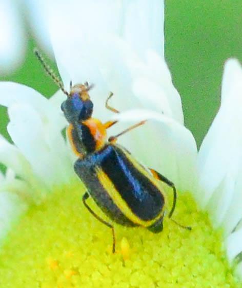 soft-winged flower beetle Collops sp.? - Attalus circumscriptus