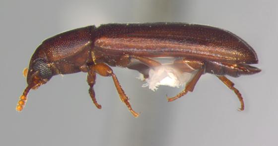 Tenebrionidae, lateral - Tribolium castaneum