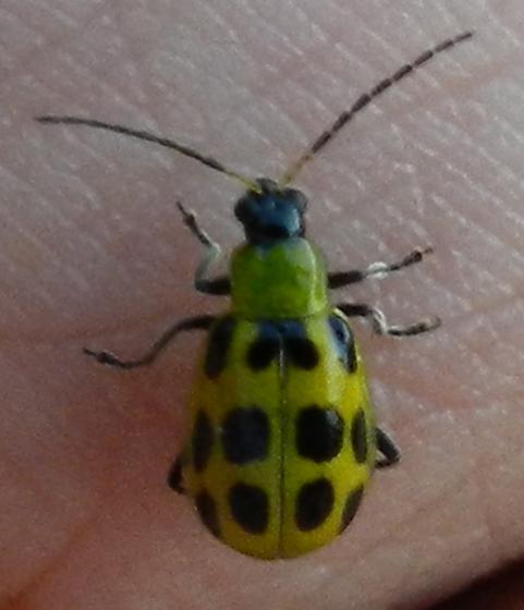 Cucumber Beetle - Diabrotica undecimpunctata