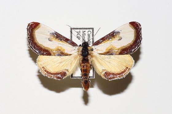Eudryas grata - Beautiful Wood-Nymph  - Eudryas grata