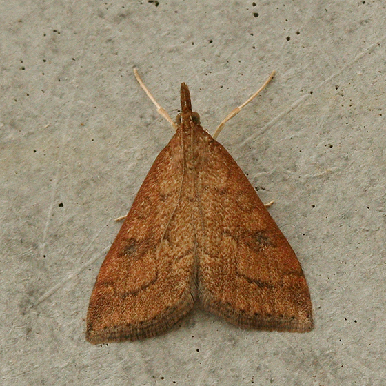 Image result for small brown moth
