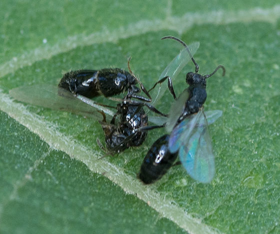 winged ants