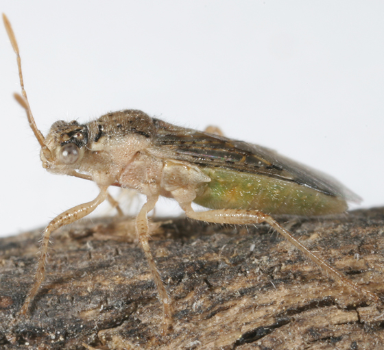 plant bug - Brachycarenus tigrinus